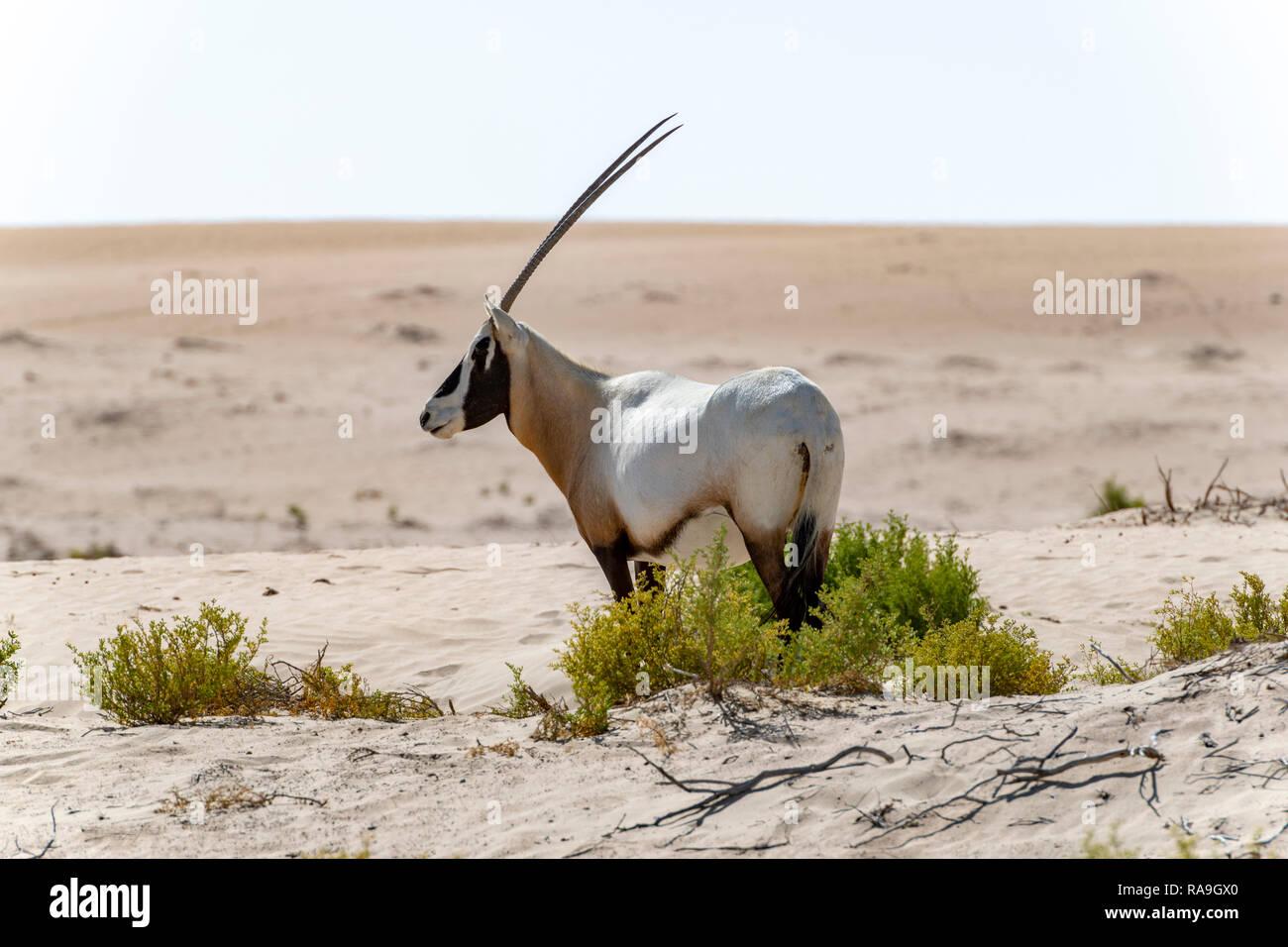 Single Arabian Oryx seen in the Desert of Dubai Emirates, United Arab Emirates, Middle East Stock Photo