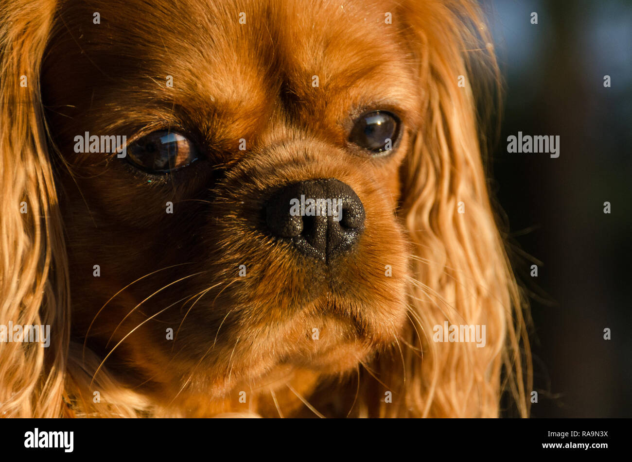 A closeup picture of the face of a cavalier king Charles spaniel dog in the setting sun light - Stock Image