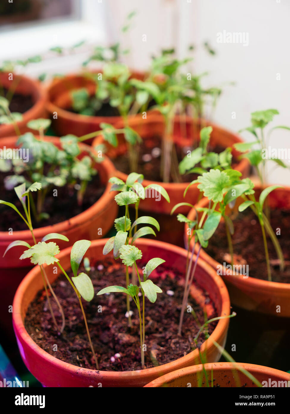 Corriander growing indoors under a grow light to provide fresh hebs in the winter. Stock Photo