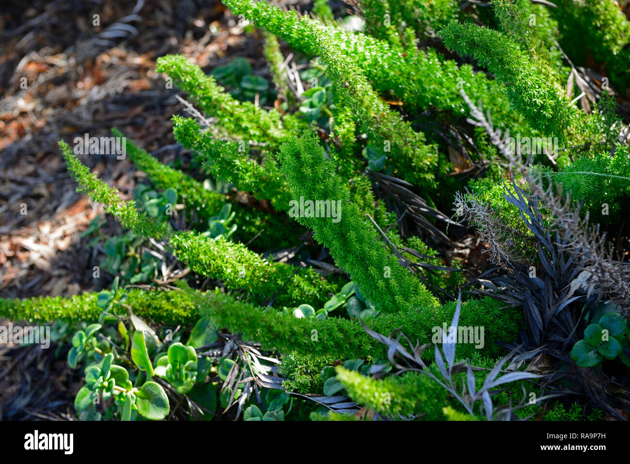 Asparagus densiflorus Myersii,plume asparagus,foxtail fern,green plumes,tuberous evergreen perennial,RM Floral - Stock Image