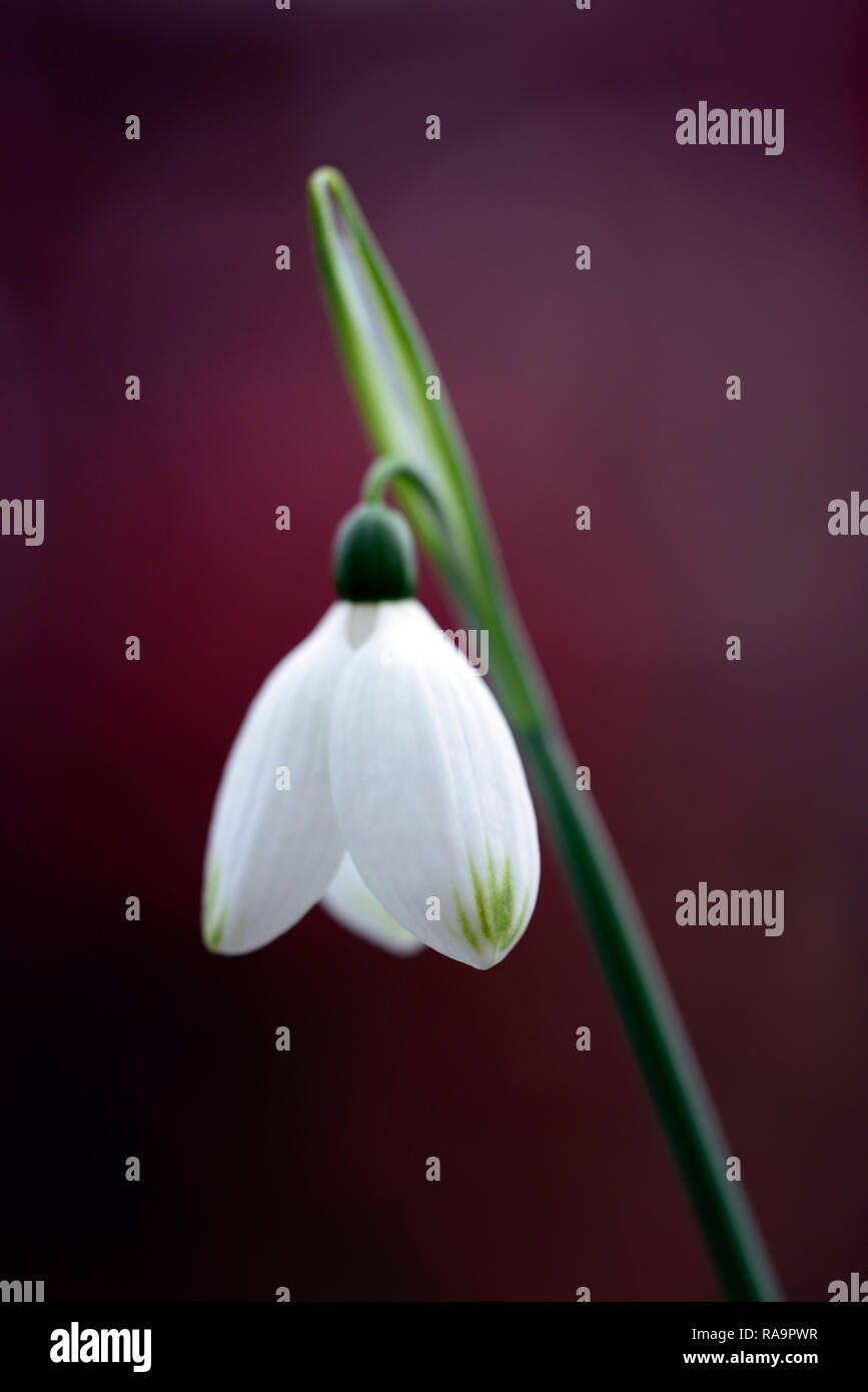 Galanthus Caucasicus Green Tip,Snowdrop, flower,christmas,early,snowdrop,white,flowers,flower,bulbs,snowdrops,spring,flowering,collectors,rare,galanto Stock Photo