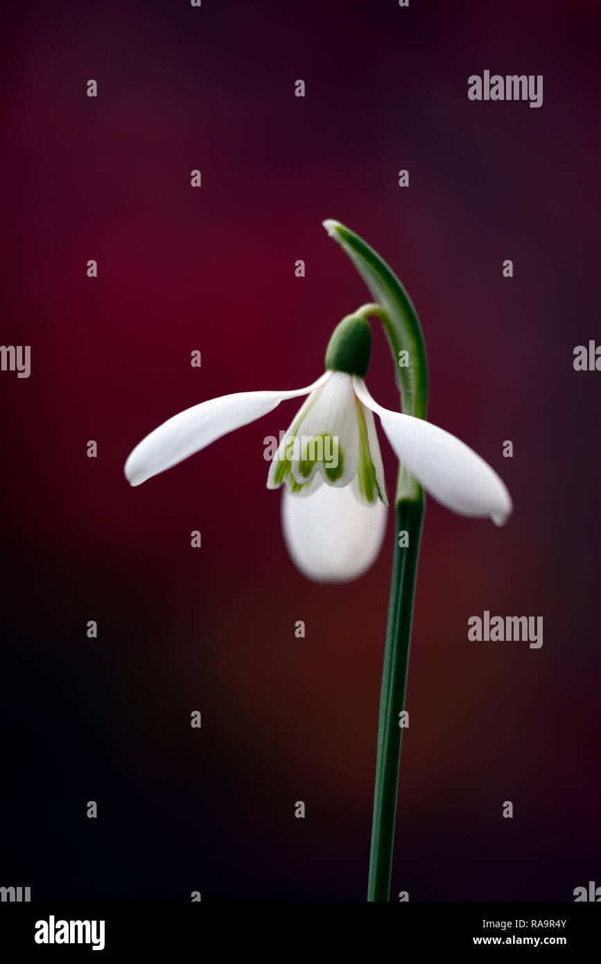Galanthus Reginae-olgae Eleni x Ann Marie Kee,snowdrop,flower,early,snowdrop,white,flowers,flower,bulbs,snowdrops,spring,flowering,collectors,rare,gal Stock Photo