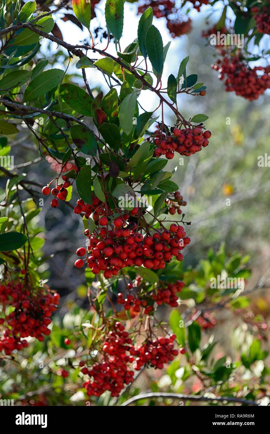 Heteromeles arbutifolia,toyon,red berries,berry,fruit,fruits,coastal sage scrub,shrub,shrubs,RM Floral - Stock Image