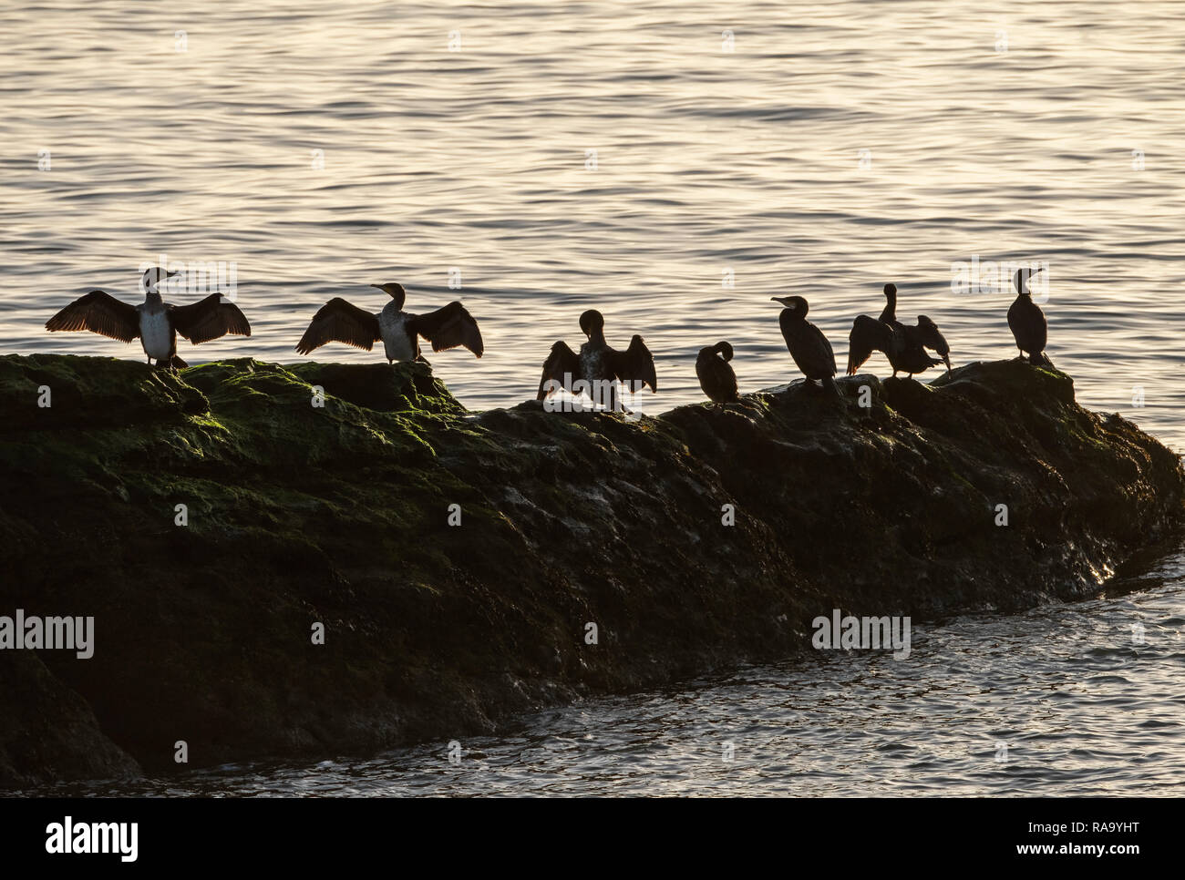 a colony of Cormorants dry their wings on a rock in the Firth of Forth near Dysart, Fife. - Stock Image