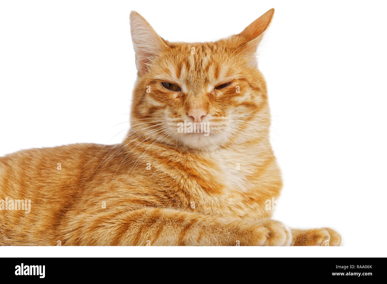 Portrait of a red cat with a cunning squinting glance isolated on white - Stock Image