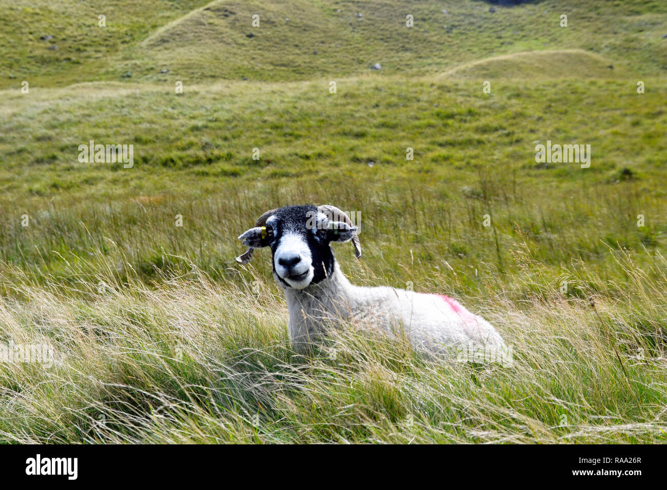 Scottish Blackface. Horned sheep with black face on Honister Pass, Cumbria, Lake District, England - Stock Image
