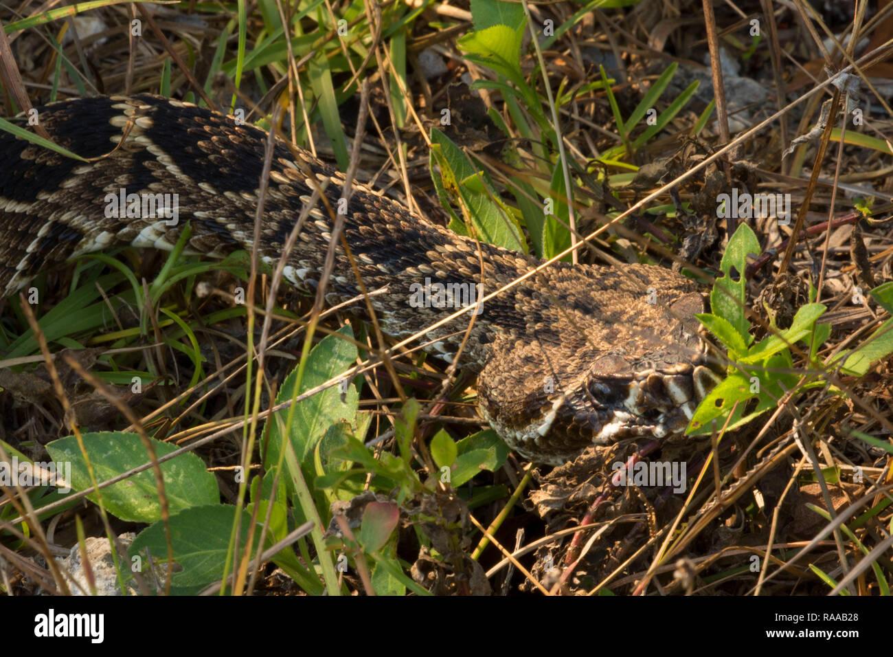 Eastern diamondback rattlesnake (Crotalus adamanteus), Everglades National Park, Florida Stock Photo