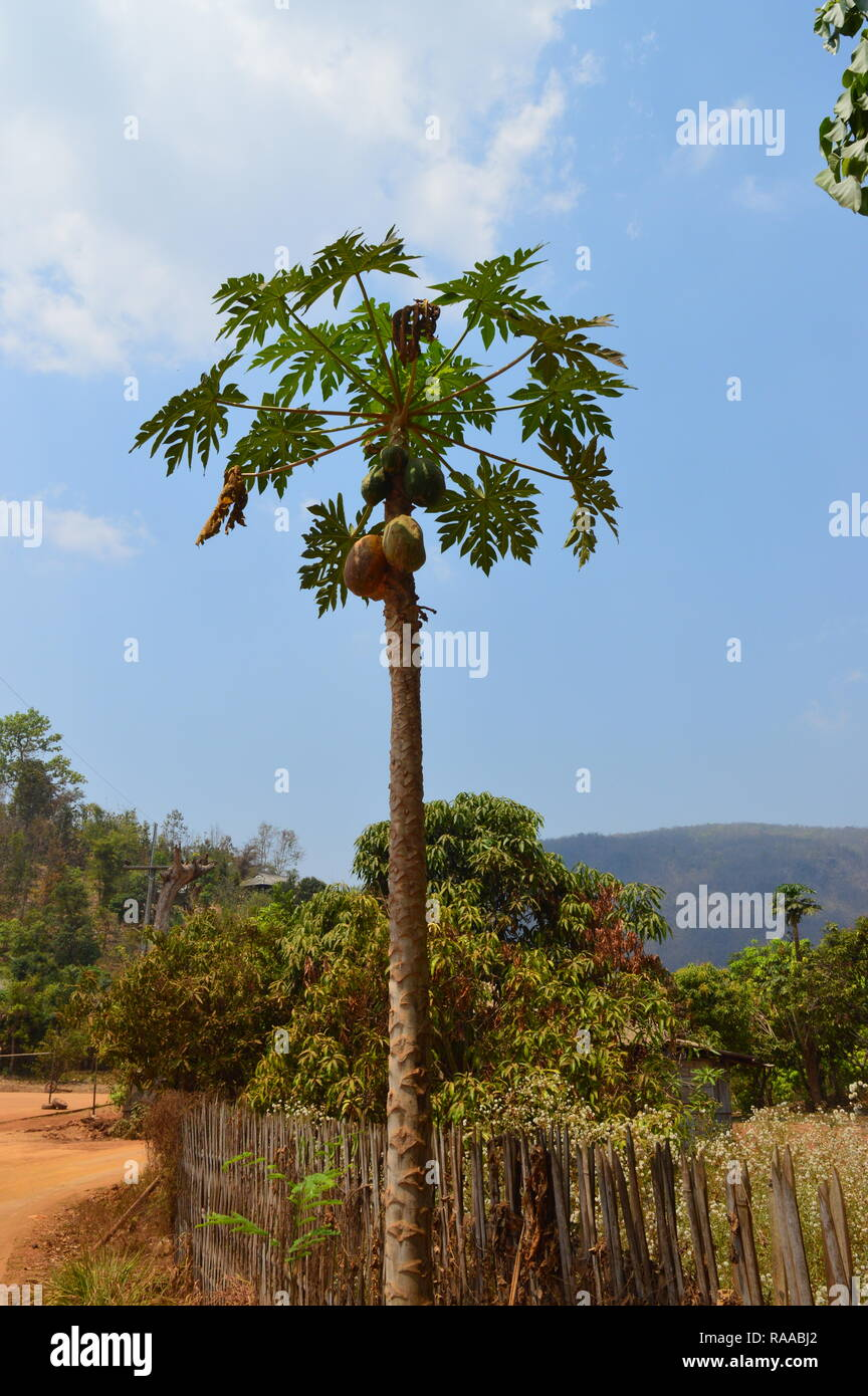 Durian Tree with fruit - Stock Image