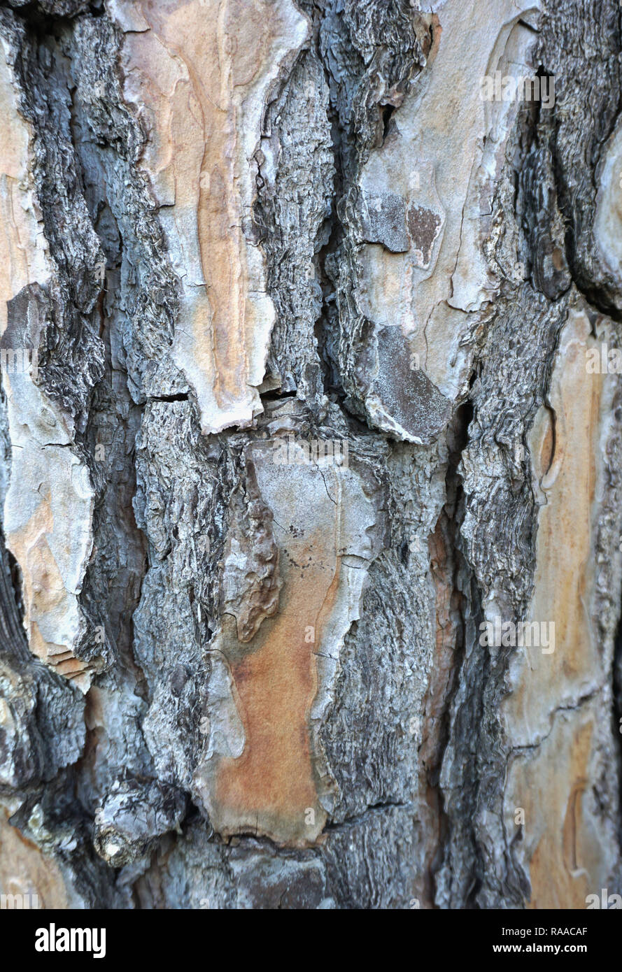 Embossed texture of bark wood big dimension background. Old wood surface close up - Stock Image