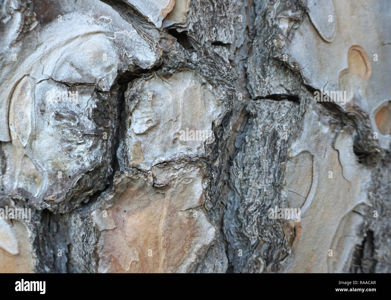 Old, cracked and rough tree rough skin close up view. Embossed wood bark texture background - Stock Image