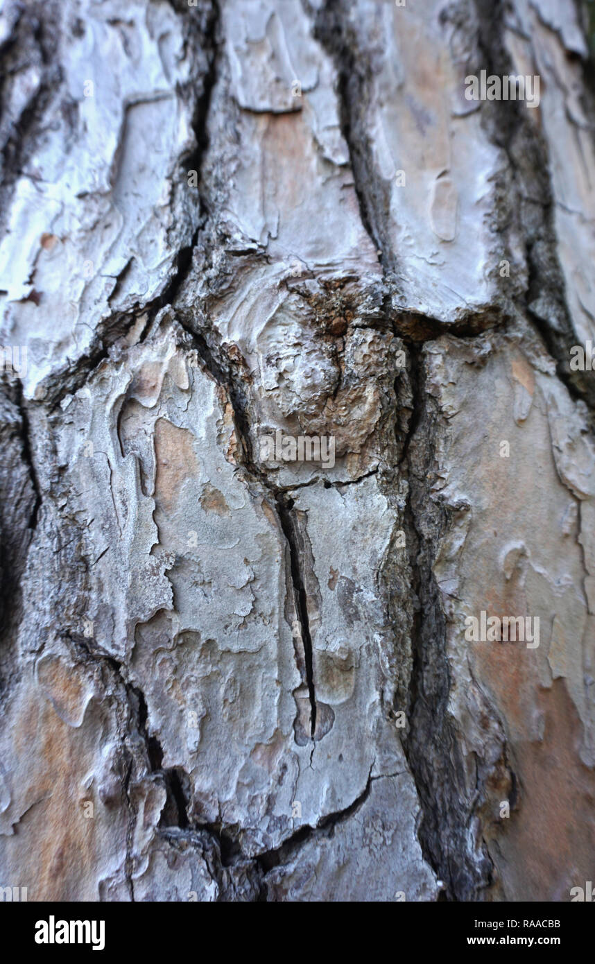 Knot on the old tree bark. Old wood skin structure background - Stock Image