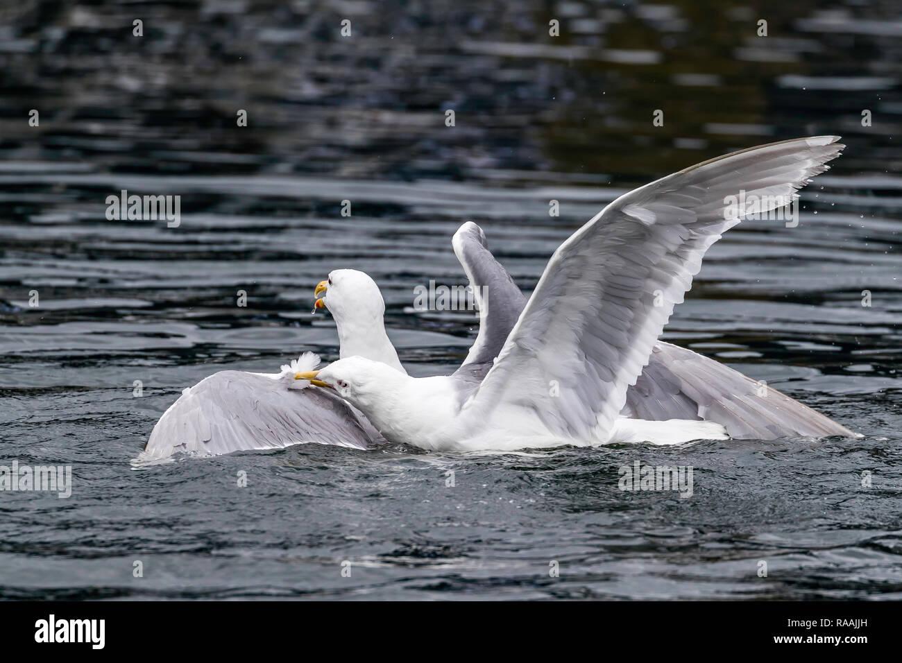Glaucous-winged gulls, Larus glaucescens, fighting over food near Petersburg, southeast Alaska, USA. - Stock Image