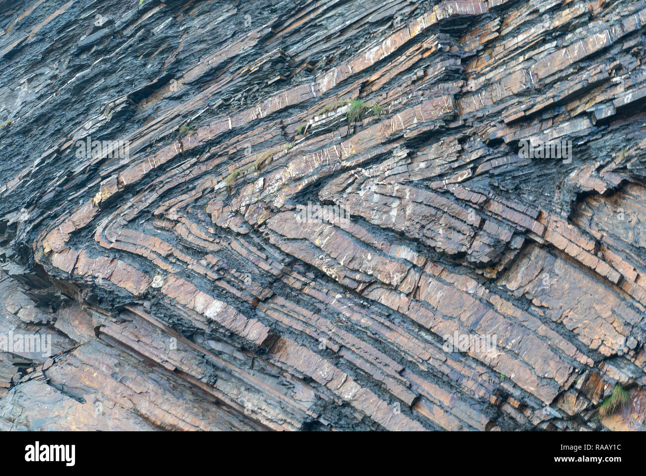 Detail of Chevron folds [1 of 5], North Cornwall UK - Stock Image