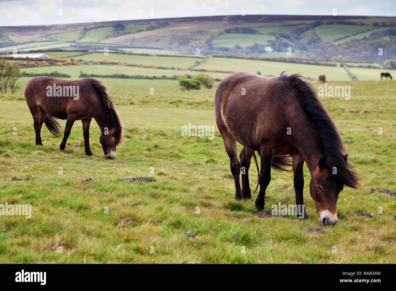 Wild Exmoor Ponies, Exmoor National Park, Devon, England, United Kingdom - Stock Image