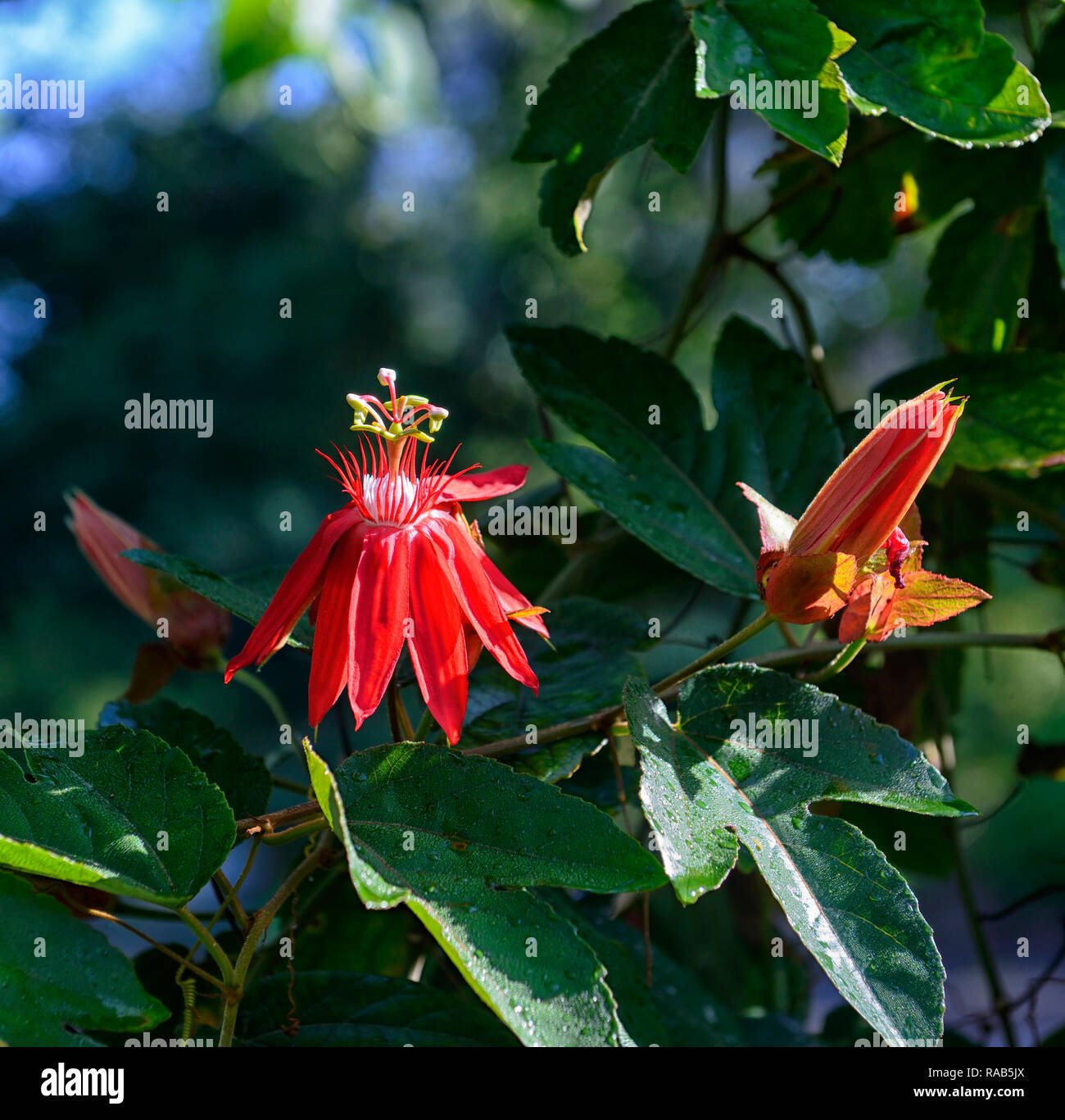 Passiflora Vitifolia Perfumed Passionflower Bright Red Flowers Red Flower Flowers Vine Climber Climbing Vines Creeper Creepers Plant Plants Rm Floral Stock Photo Alamy