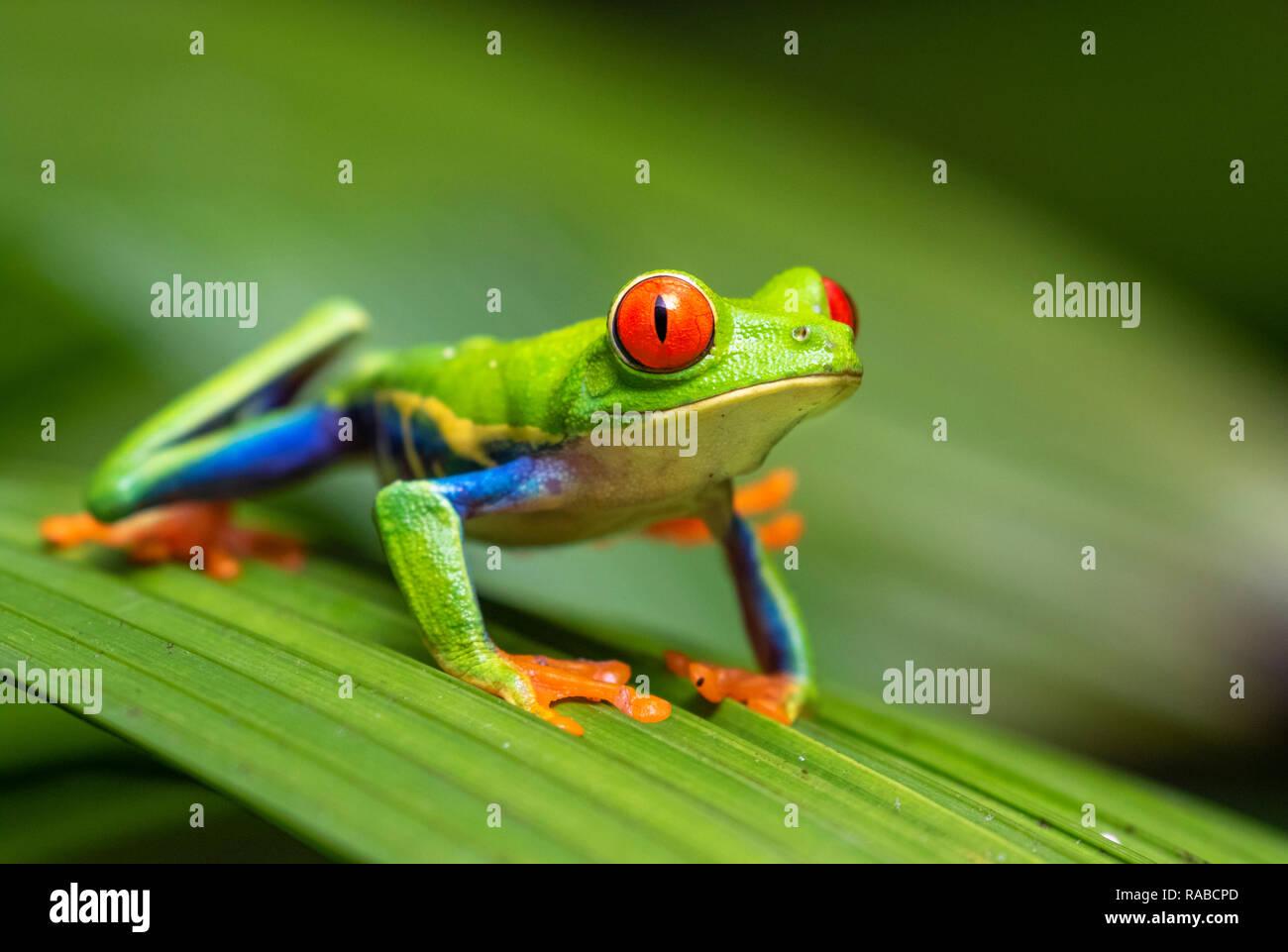 Red-eyed tree frog (Agalychnis callidryas) portrait, Alajuela, Costa Rica. Stock Photo