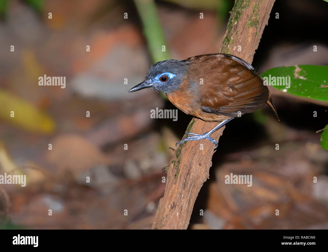 Chestnut backed antbird (Poliocrania exsul) looking for insects on the ground of rain forest, Manuel Antonio National Park, Puntarenas, Costa Rica - Stock Image