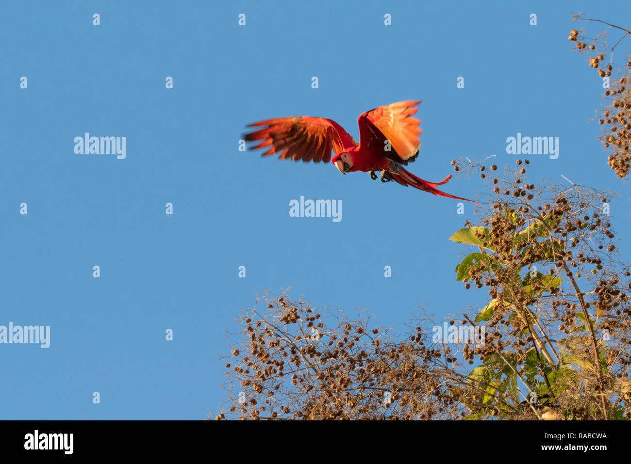 Scarlet Macaw (Ara macao) flying over nut trees in blue sky, Puntarenas, Costa Rica - Stock Image