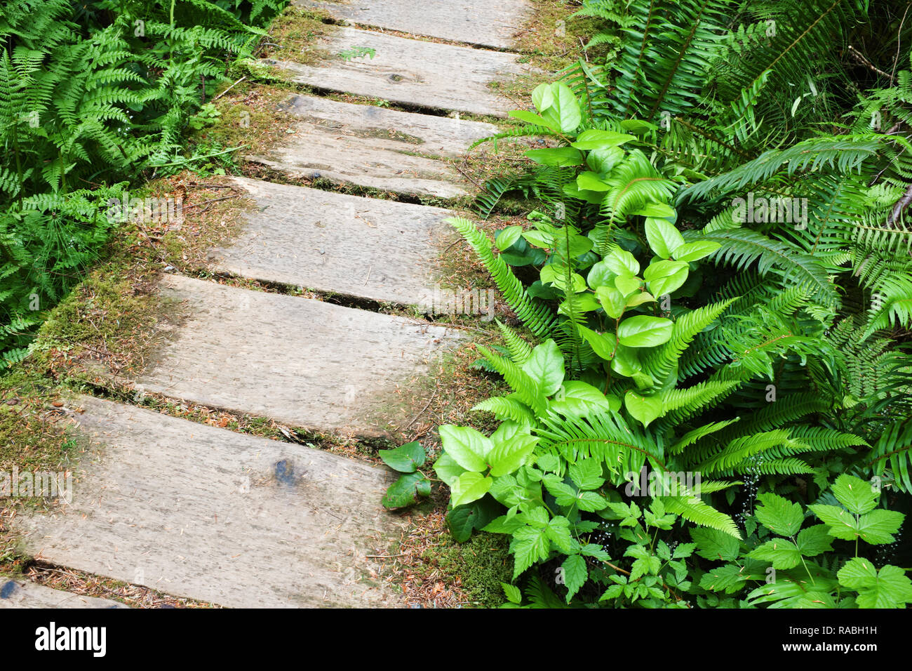 Boardwalk trail through old growth temperate rain forest, Sand Point Trail, Olympic National Park, Olympic Peninsula, Clallam County, Washington, USA Stock Photo