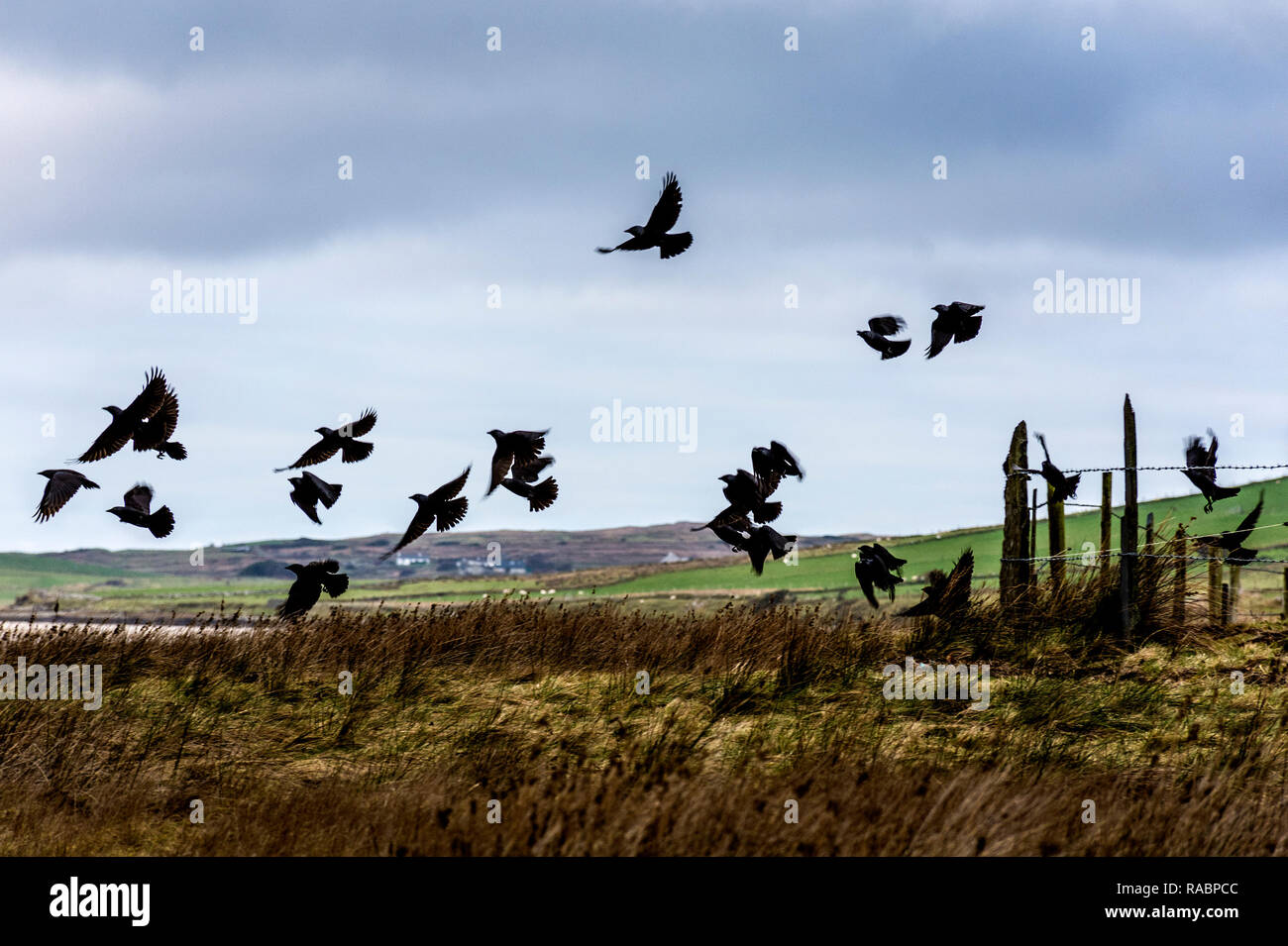 Ardara, County Donegal, Ireland. 3rd January 2019. An unkindness (group name for ravens) of Ravens, Corvus corax, takes to the air on the north-west coast. The birds are common in Ireland and often gather in groups before breeding in spring. Credit: Richard Wayman/Alamy Live News - Stock Image