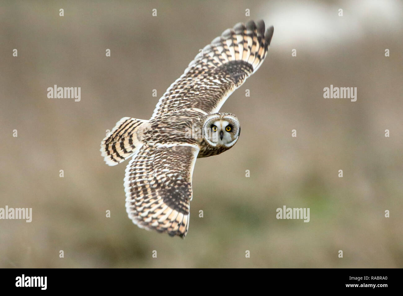 Pevensey Levels, UK. 3rd Jan 2019.UK weather. A Short eared owl (Asio flammeus) hunts over fields on the Pevensey Levels this afternoon.  The owls are regular visitors to the area and can often be seen during the winter period. Pevensey Levels, East Sussex, UK. Credit: Ed Brown/Alamy Live News - Stock Image