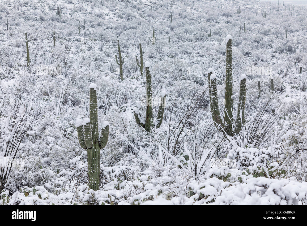 Tucson, USA. 2nd Jan, 2019. A cold winter storm brought a rare snowfall to the lower elevations of the Sonoran Desert at Saguaro National Park in Tucson, USA. Credit: John Sirlin/Alamy Live News. - Stock Image
