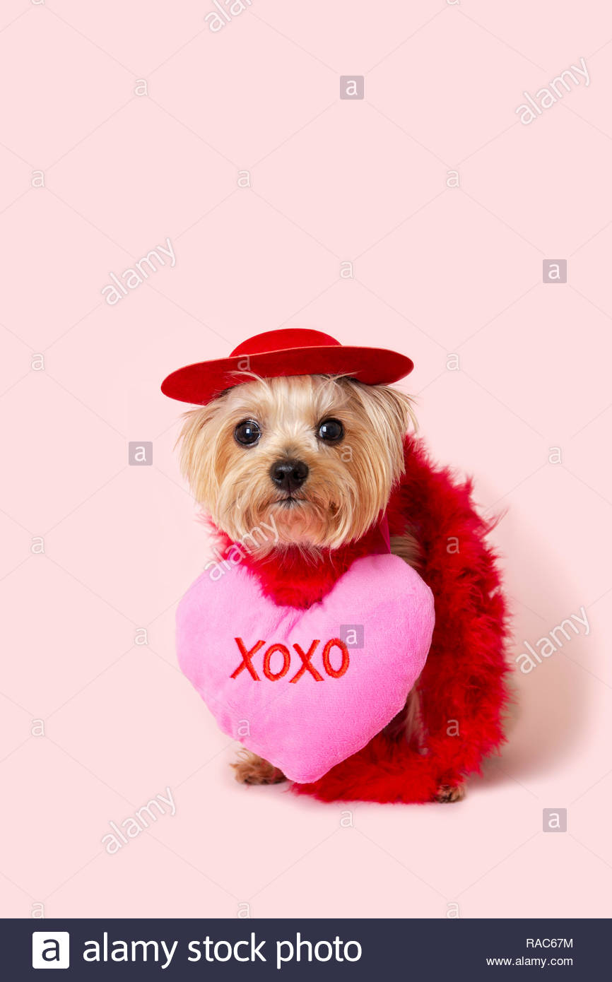 Yorkie Puppy Dog wearing a red hat and a red feather boa and a love heart decoration on a pink background to celebrate valentines day. - Stock Image
