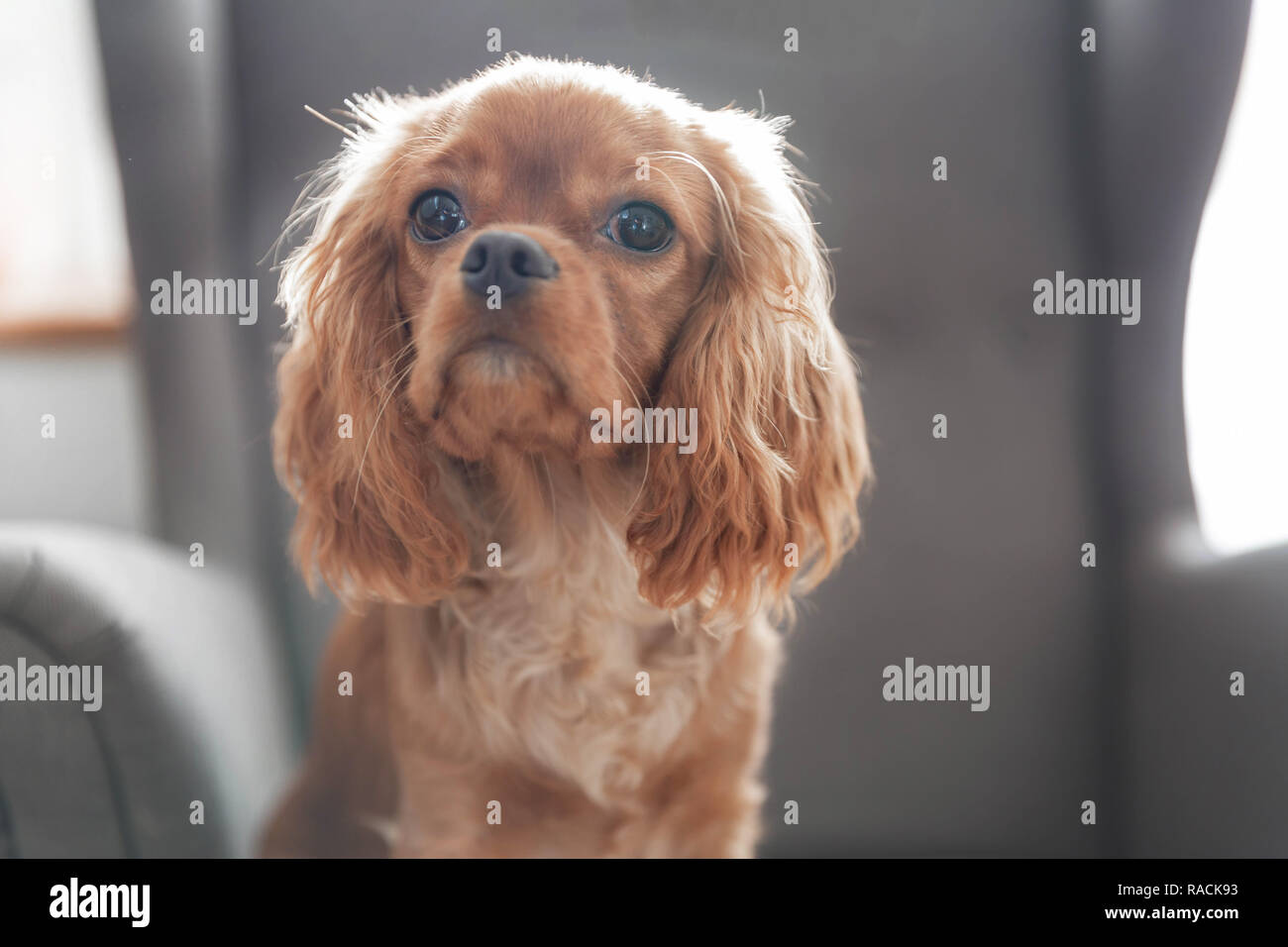 Cute puppy of cavalier spaniel sitting on the armchair - Stock Image
