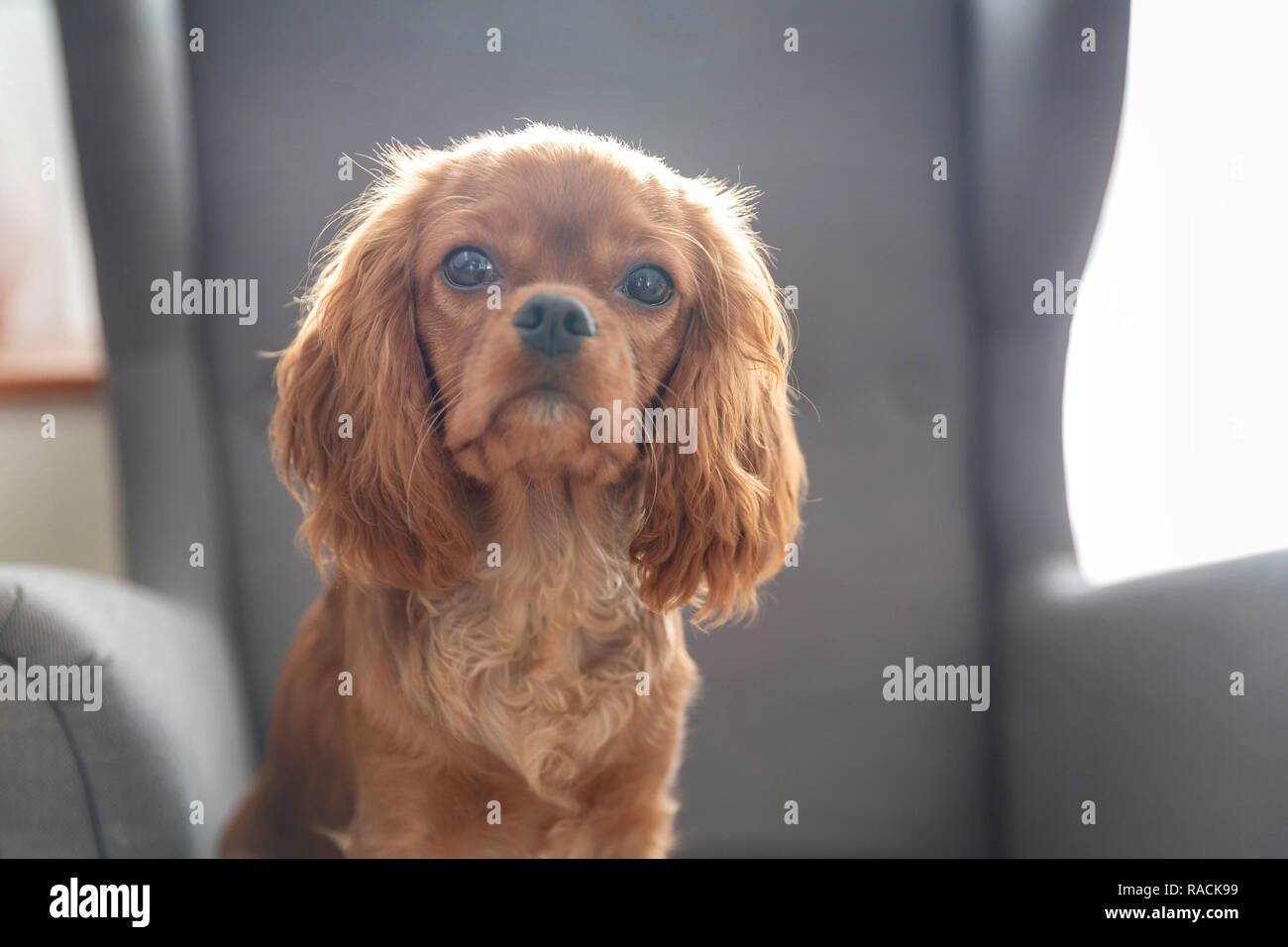 Cute puppy of cavalier spaniel sitting on the chair - Stock Image