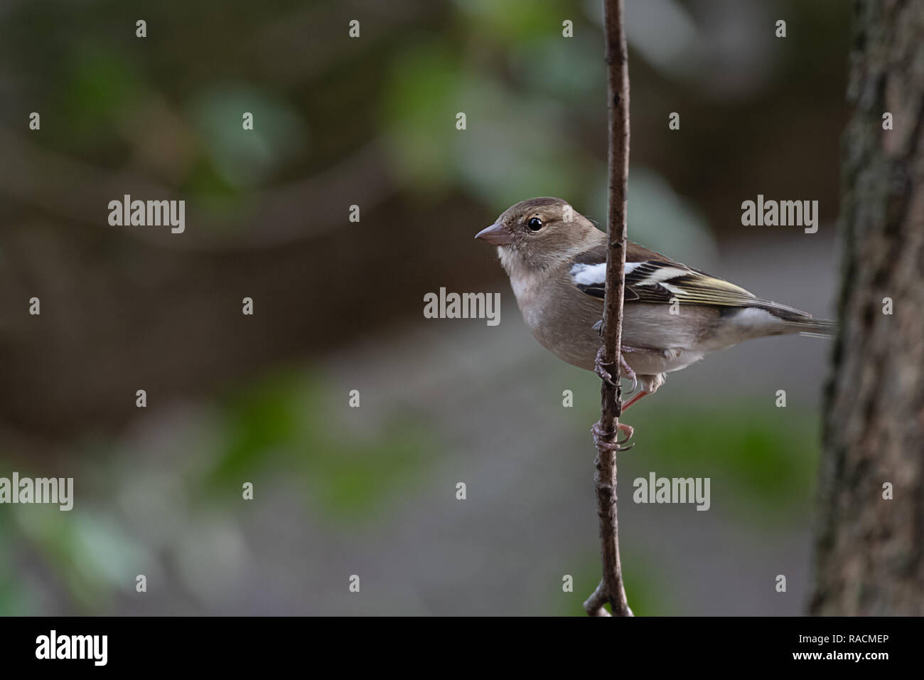 A female chaffinch sits perched on a branch in a wood. Facing to the left into open copy space is this profile portrait with catchlight in her eye - Stock Image