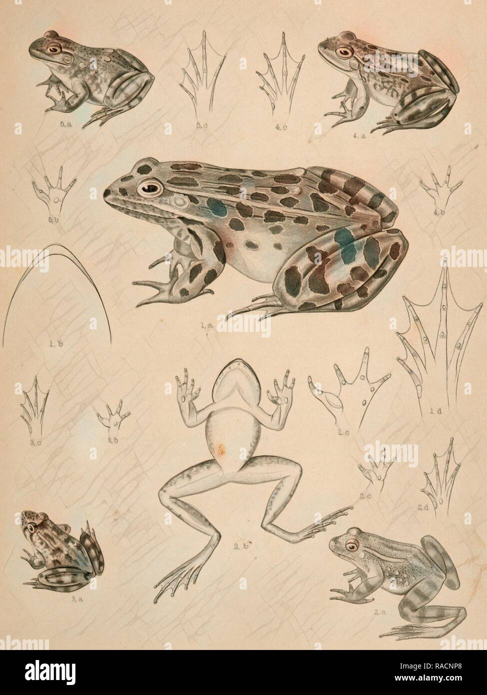 1. Pana halecina, Spotted Frog, b. under surface of head, c. under surface of left fore foot, d. under surface of reimagined - Stock Image