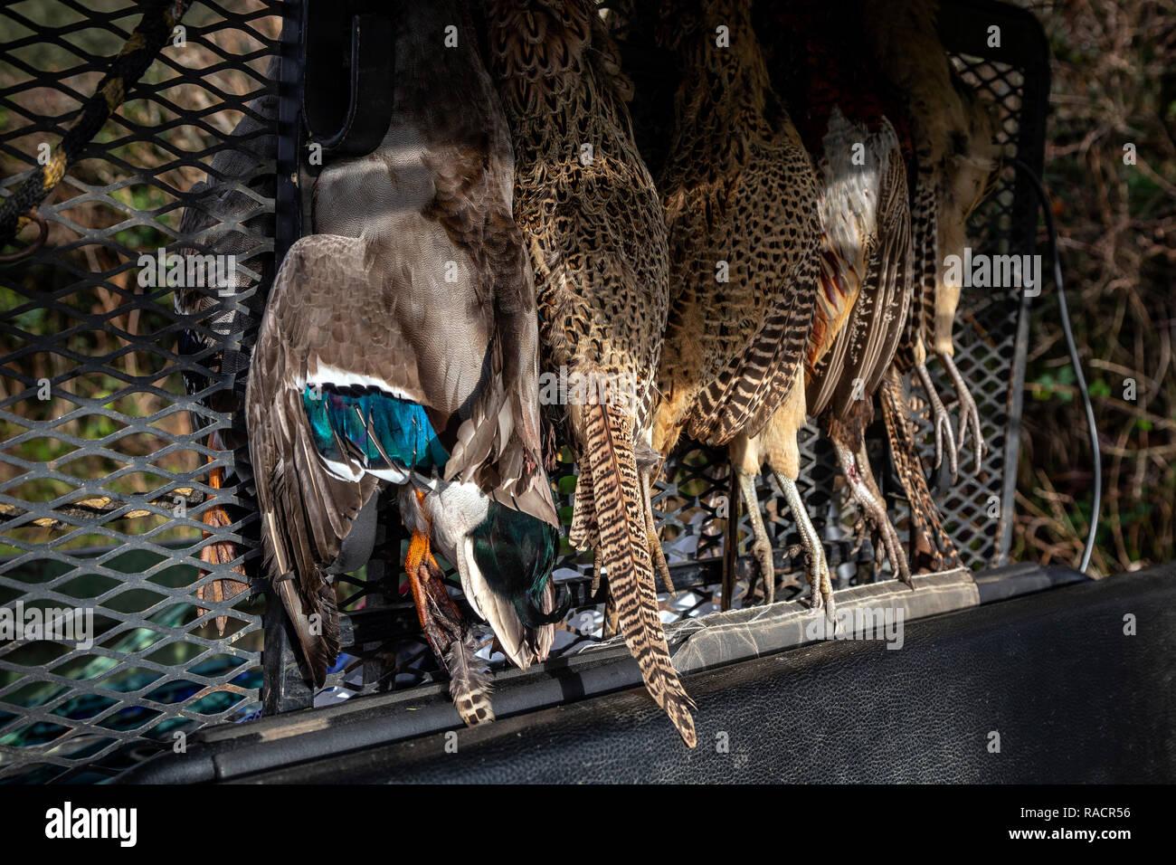 Gamebird hanging in back of Gator, Gate, Animals Hunting, Duck - Bird, Duck Meat, Pheasant - Bird, Bird, Dead Animal, England, Game ,Rural Scene, Side - Stock Image