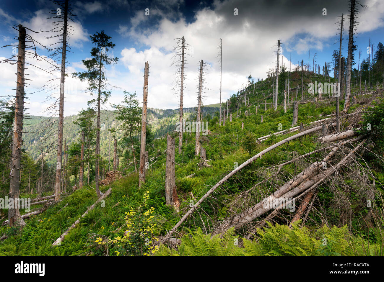 protected forest, Feldberg in the Black Forest - Stock Image