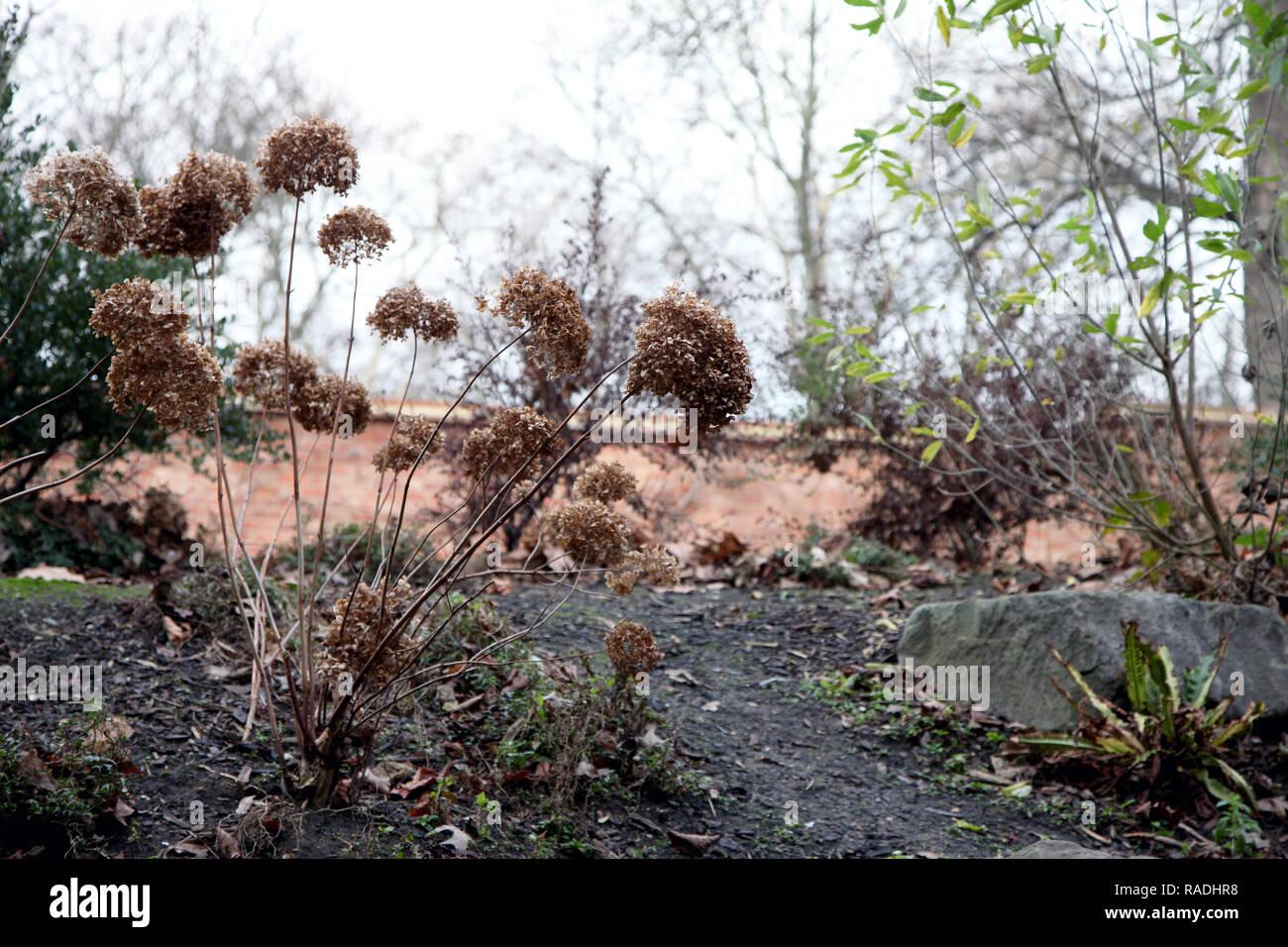 Dead hydrangea flowers in wintry setting Stock Photo