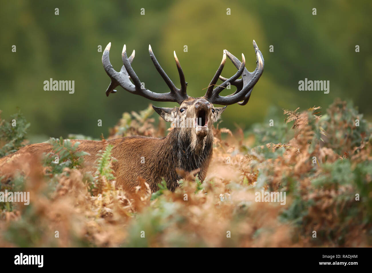 Close-up of a Red Deer roaring during mating season in autumn, UK. - Stock Image