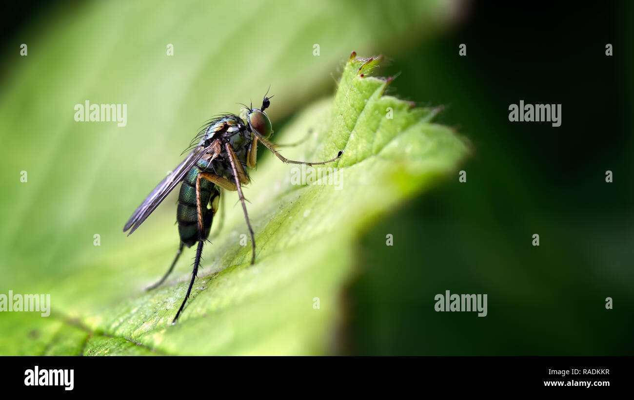 These Long-legged flies belong to the Dolichopus genera of which there about 600 species and characterized by large prominent eyes, and long legs. - Stock Image