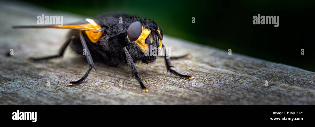 A day out at WWT Caerlaverock National Nature Reserve, Dumfries & Galloway, Scotland. Observing a Noon fly basking on a wooden fence along a ride. - Stock Image