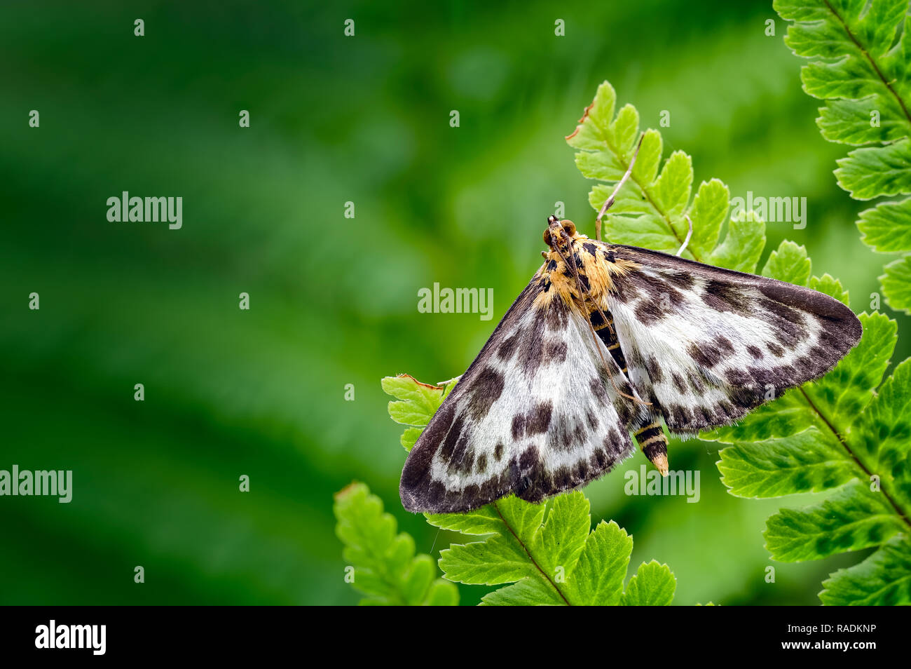 This Small Magpie moth (Anania hortulata) resting on a fern leaflet is actually a micro moth rather that a macro moth. Stock Photo