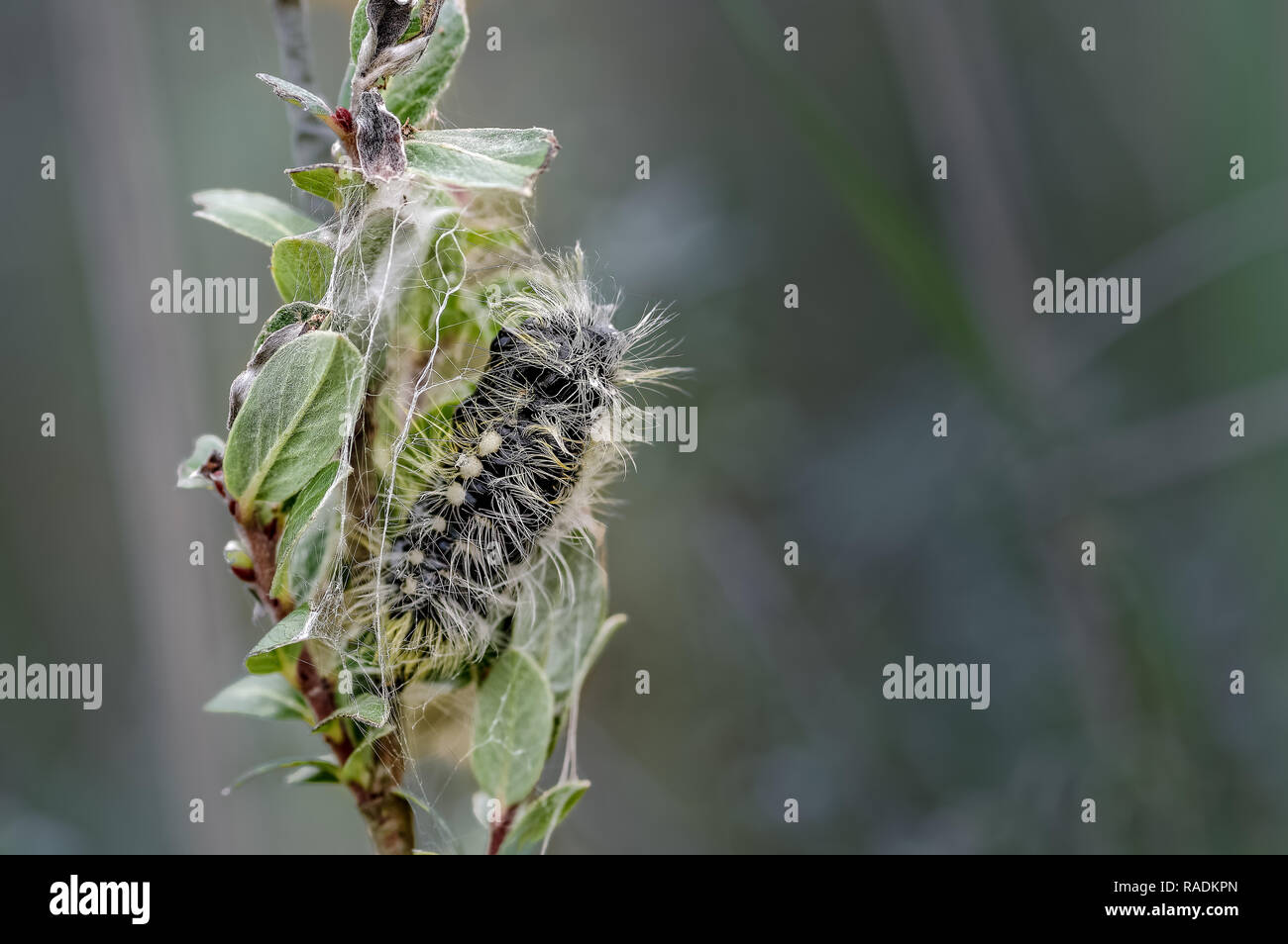 A pupa forms after a fully fed caterpillar enters the pupal stage on dwarf willow at Ainsdale local nature reserve on the Sefton coast. - Stock Image