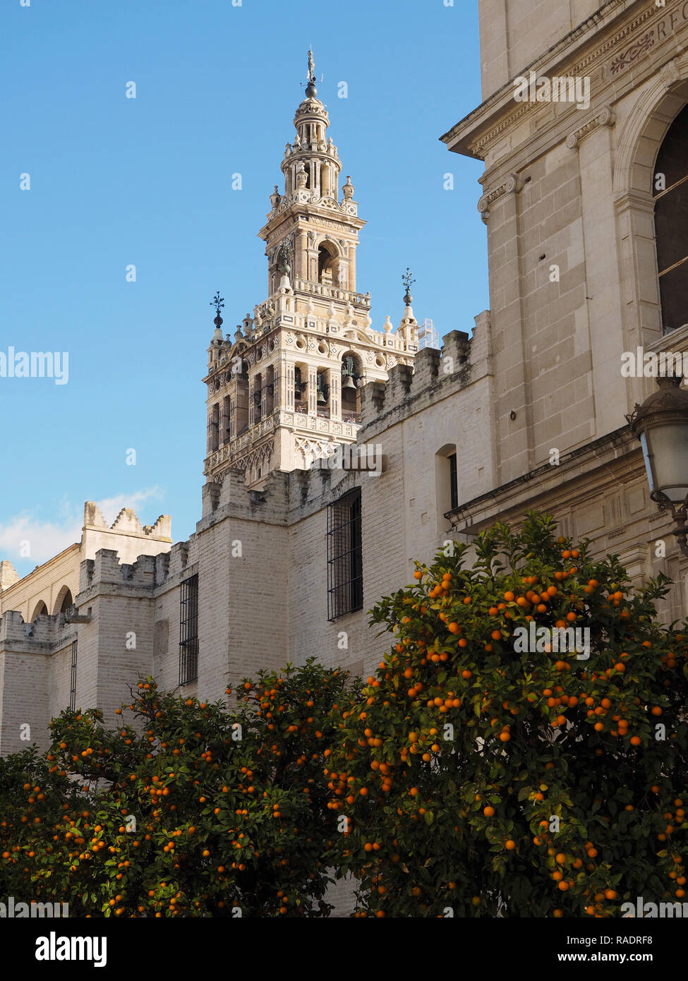 The Giralda belltower of the Seville cathedral, with typical orange trees in the foreground with lots of oranges on them. Andalusia, Spain. - Stock Image