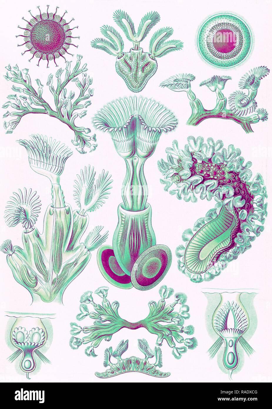 Illustration shows aquatic invertebrates. Bryozoa. - Moostiere, 1 print : color lithograph , sheet 36 x 26 cm., 1904 reimagined Stock Photo