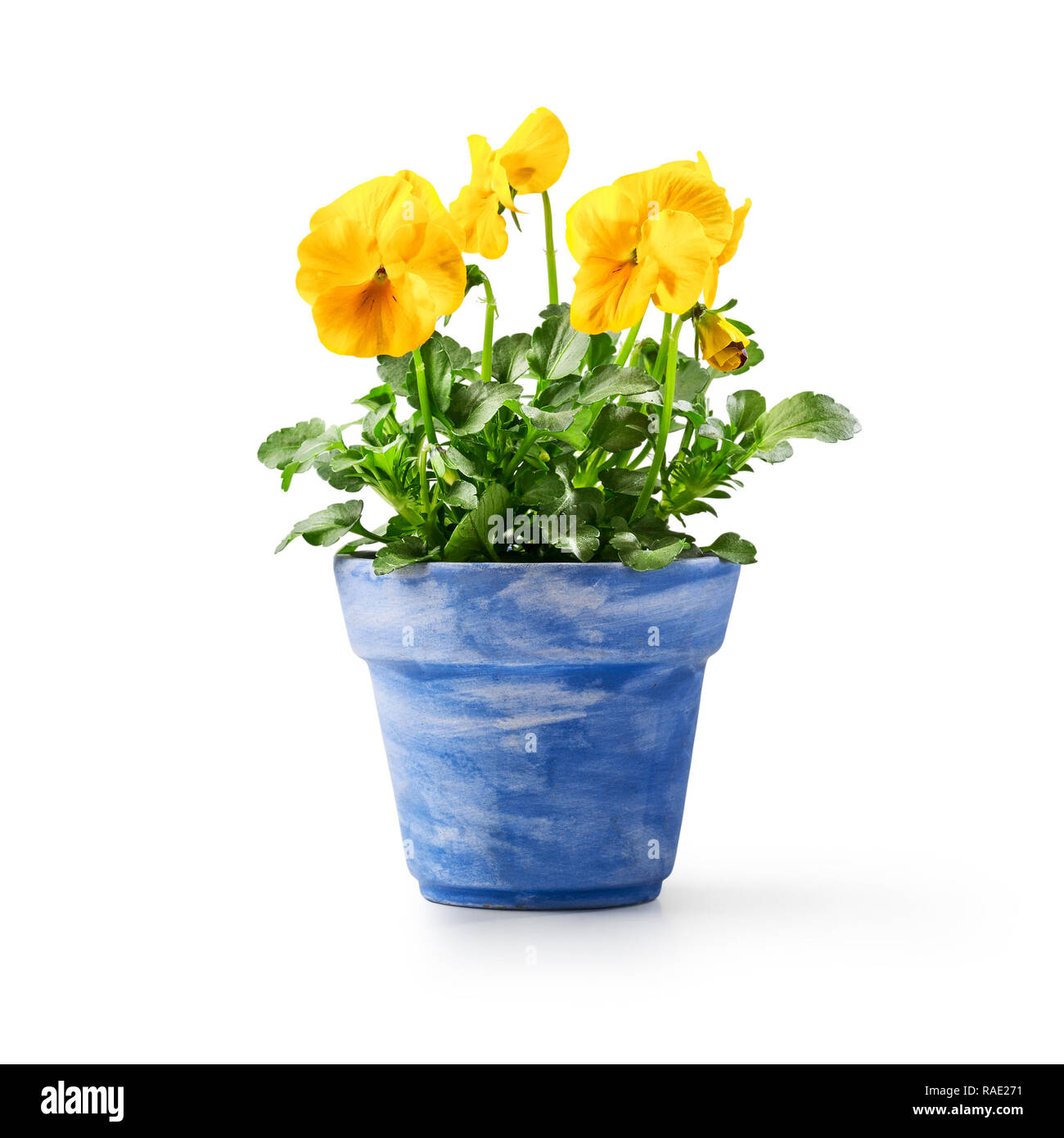 Pansy flowers in flowerpot isolated on white background. Spring garden  yellow viola tricolor plant as design element - Stock Image