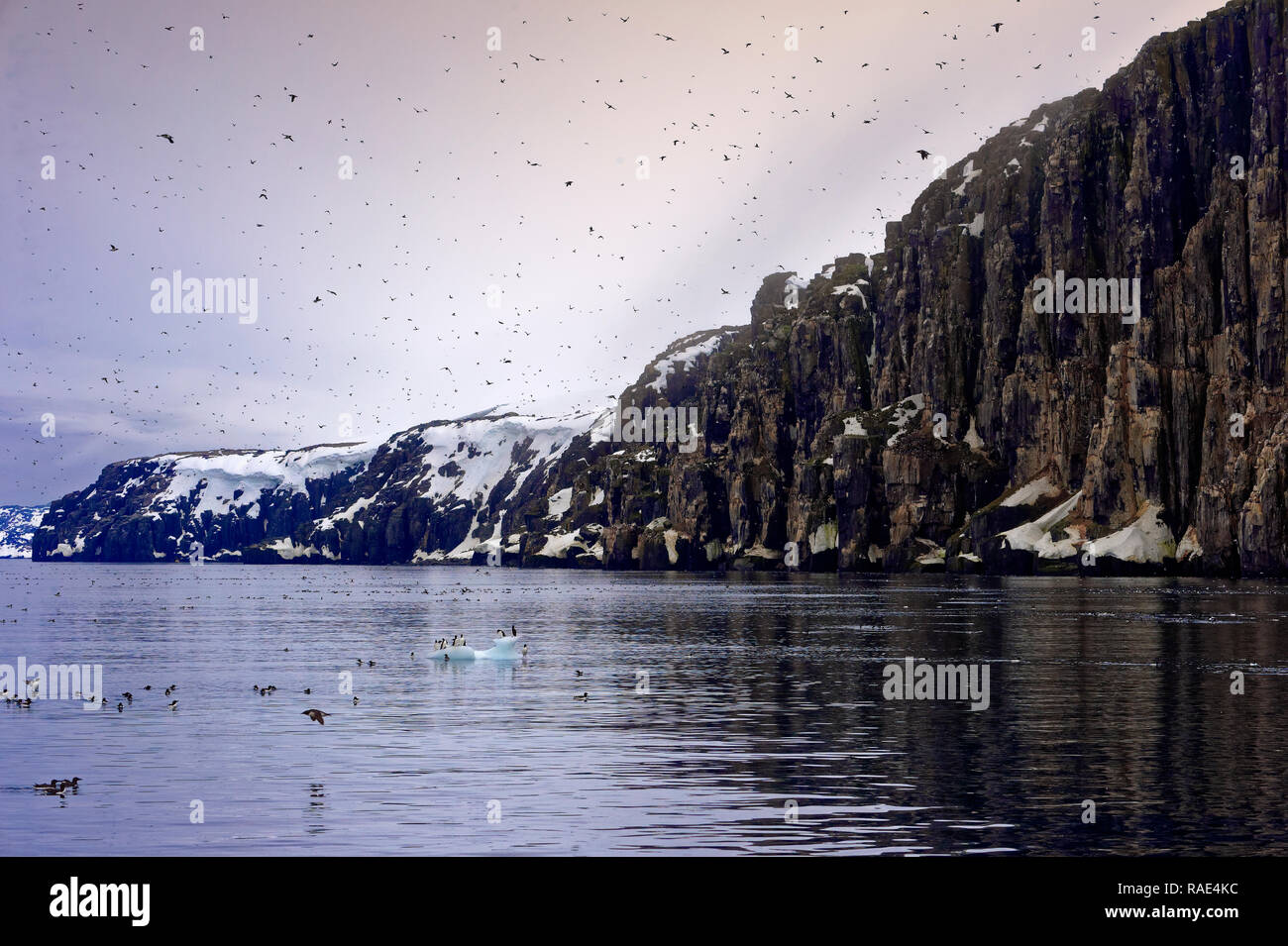 Thick-billed Murres (Uria lomvia) (Brunnich's guillemots) colony, Alkefjellet Hinlopen Strait, Svalbard archipelago, Arctic, Norway, Europe Stock Photo