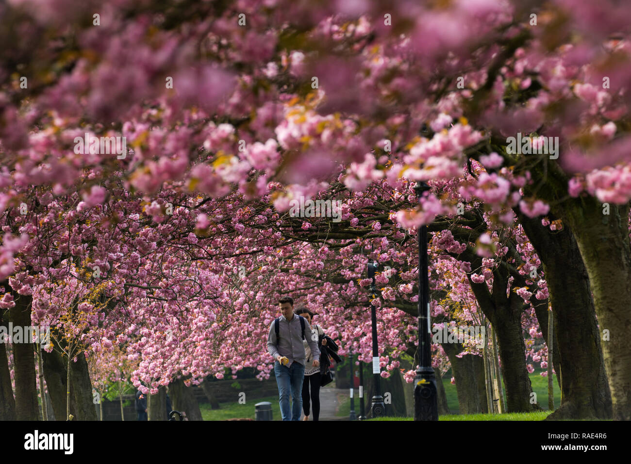 Two people walking underneath a canopy of pink Cherry Blossom,Stray Rein,Harrogate,North Yorkshire,England,UK. - Stock Image