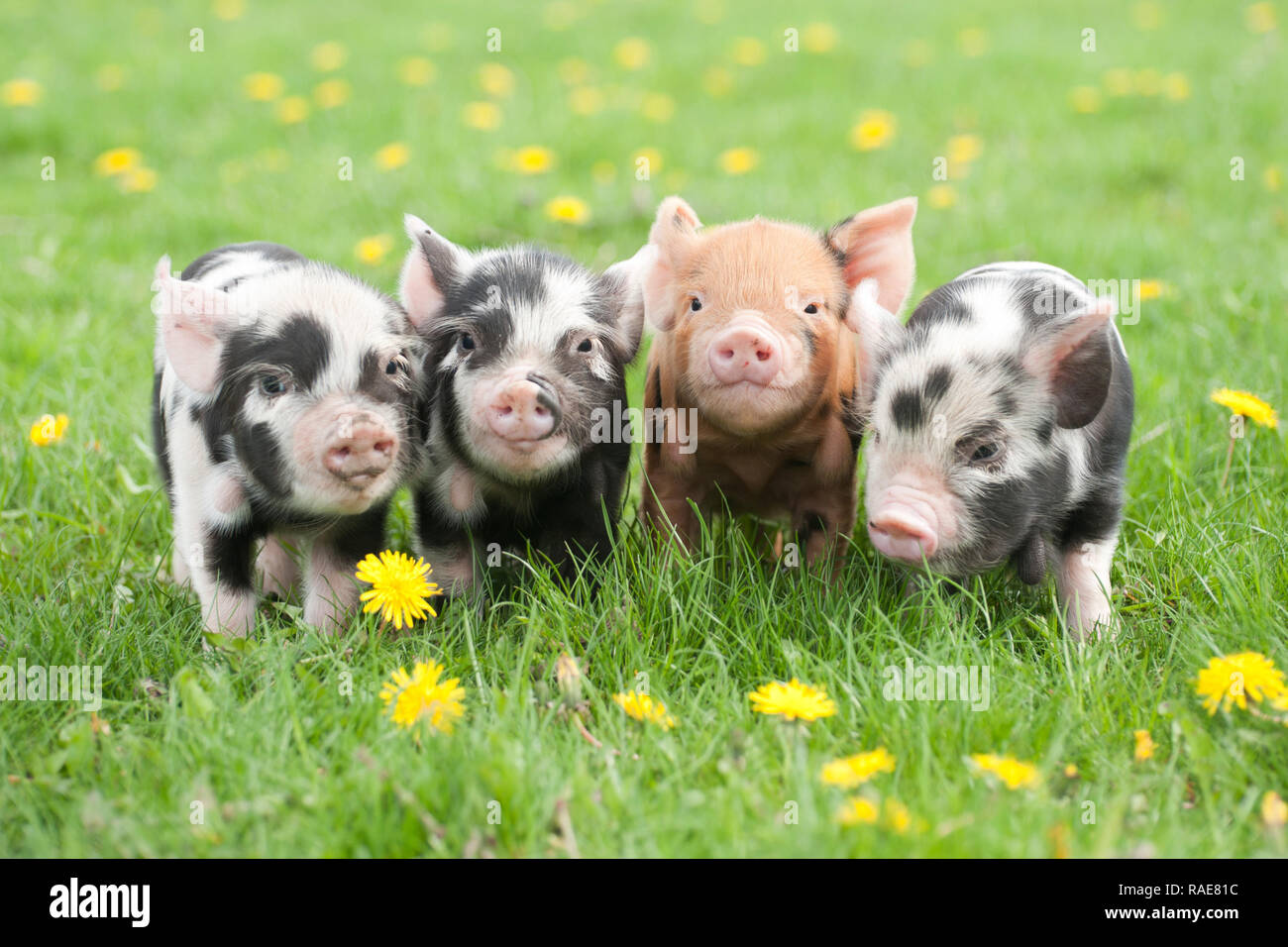 Cute Baby Pigs High Resolution Stock Photography And Images Alamy