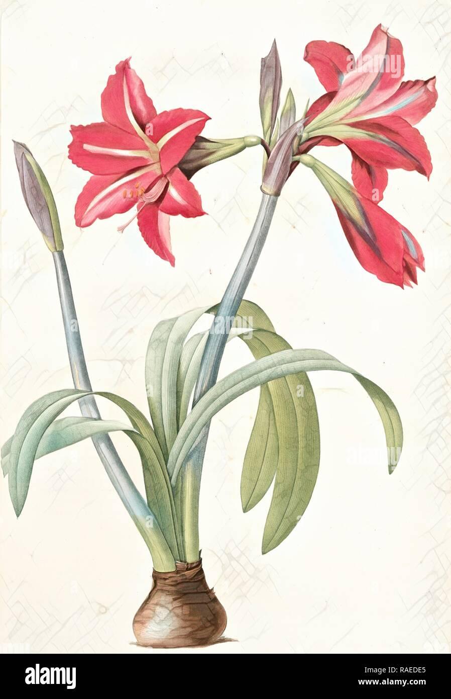 Amaryllis brasiliensis, Hippeastrum equestre, Amaryllis brèsilienne, Barbados Lily, Redouté, Pierre Joseph, 1759-1840 reimagined - Stock Image