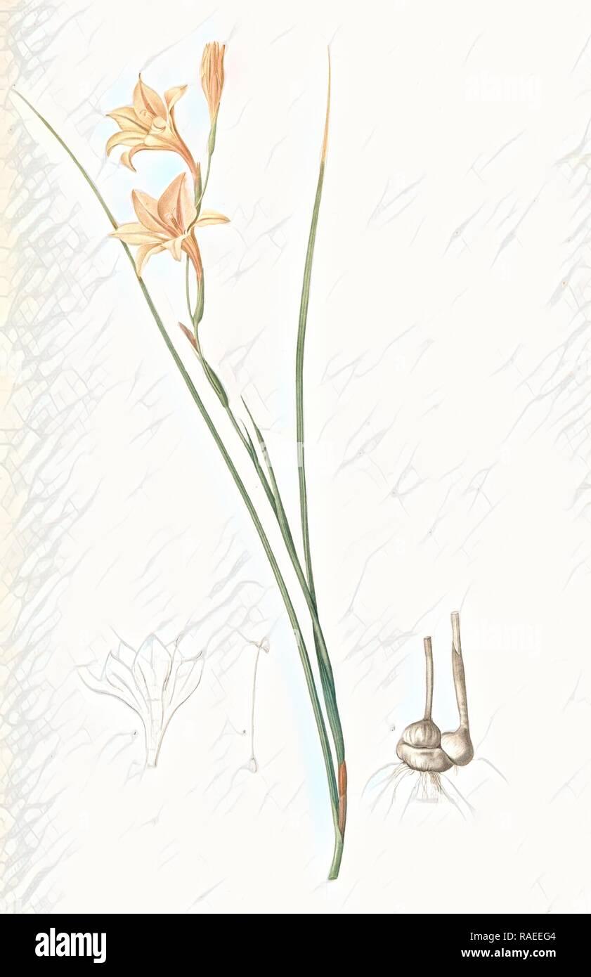 Gladiolus tristis, Glaïel ondulé , Marsh Afrikaner, Square-leaved Corn-flag, Redouté, Pierre Joseph, 1759-1840, les reimagined - Stock Image