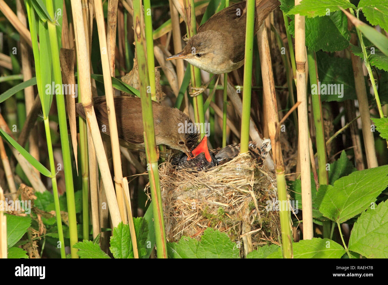 CUCKOO in nest, foster parents present, UK. - Stock Image
