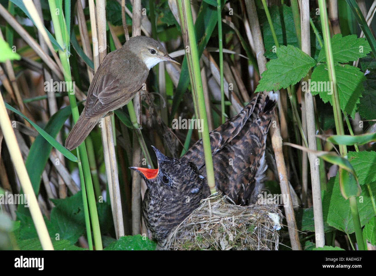 CUCKOO parasite (Cuculus canorus) with foster parent, UK. - Stock Image