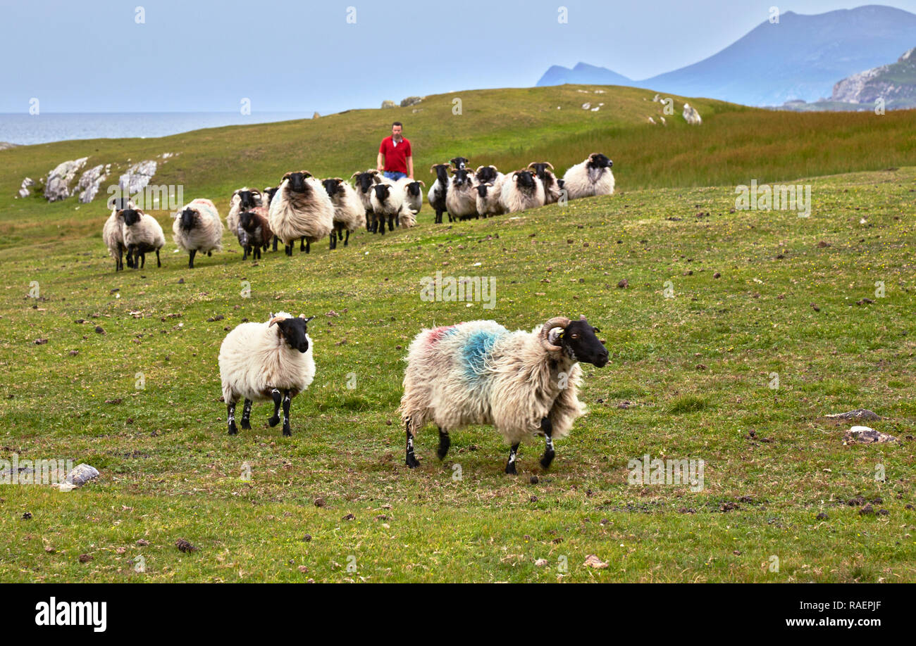 A flock of sheep with their shepherd on Achill island (Ireland) - Stock Image